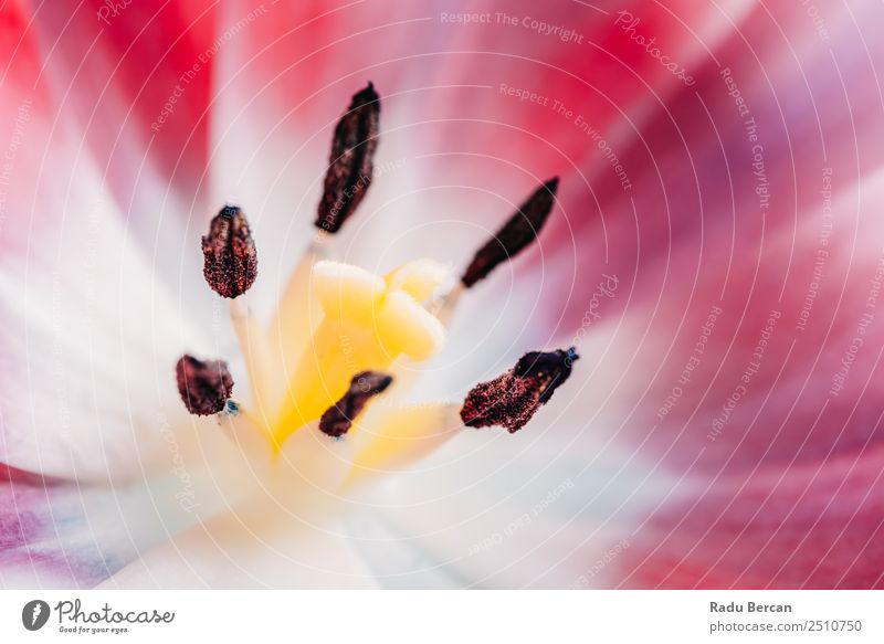 Close-Up Details Of Pink Tulip Flower Nature Summer Plant Beautiful Colour White Red Yellow Love Spring Blossom Natural Emotions Garden Feasts & Celebrations