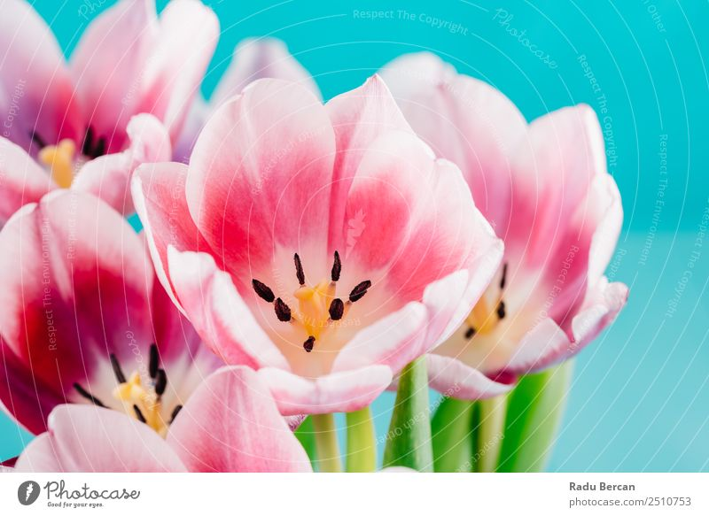Close-Up Details Of Pink Tulip Flower Beautiful Summer Garden Feasts & Celebrations Valentine's Day Mother's Day Birthday Nature Plant Spring Blossom Exotic