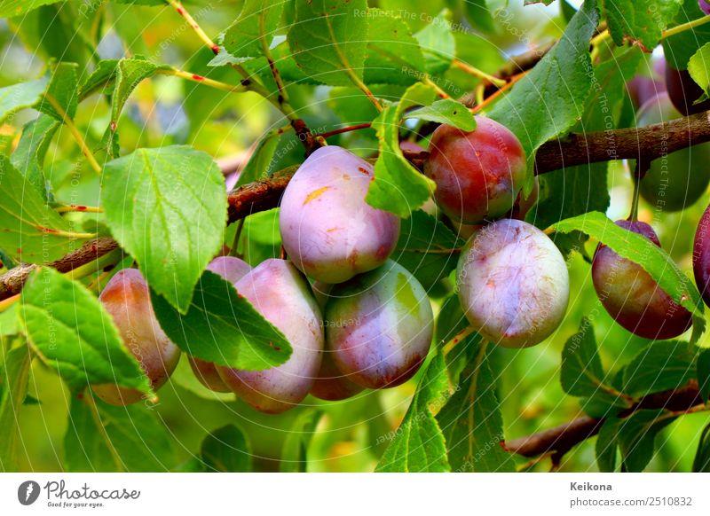Purple plums ripening on a branch. Fruit Jam Nutrition Organic produce Vegetarian diet Diet Sun Summer Climate Plant Bushes Leaf Agricultural crop Garden Fresh