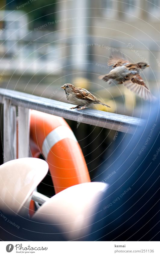 The last sparrow Navigation Inland navigation Passenger ship On board Railing Handrail Life belt Animal Wild animal Bird Wing Claw Sparrow 2 Flying Sit Cute