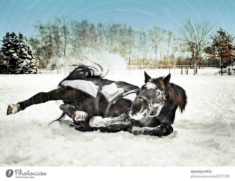 Nature Joy Winter Animal Cold Meadow Environment Landscape Movement Funny Lie Horse Exceptional Pasture Joie de vivre (Vitality) Dynamics