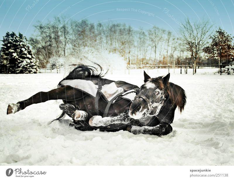 Nature Joy Winter Animal Cold Meadow Environment Landscape Movement Funny Lie Horse Exceptional Pasture Joie de vivre (Vitality) Dynamics