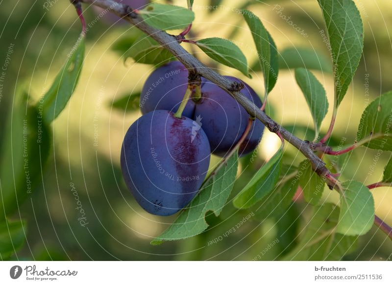 Plums on the tree Food Fruit Organic produce Vegetarian diet Healthy Eating Agriculture Forestry Plant Tree Agricultural crop Fresh Natural Blue Plum tree