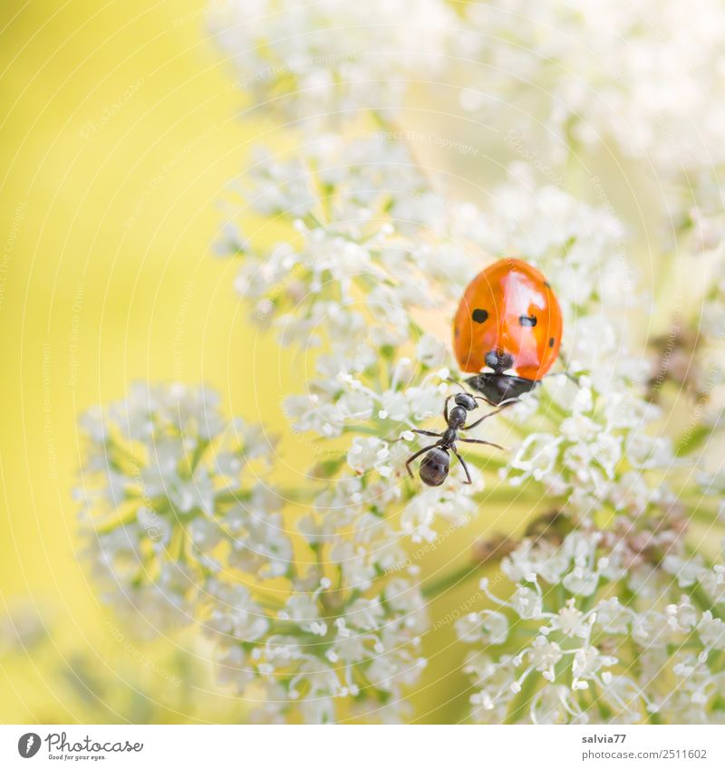 smalltalk Nature Plant Animal Flower Blossom Apiaceae Meadow Field Beetle Ant Ladybird Seven-spot ladybird Insect 2 Touch Crawl Exceptional Communicate