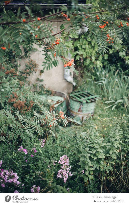 Nature Green Plant Garden Natural Overgrown Rain gutter Stinging nettle Rowan tree Rainwater butt