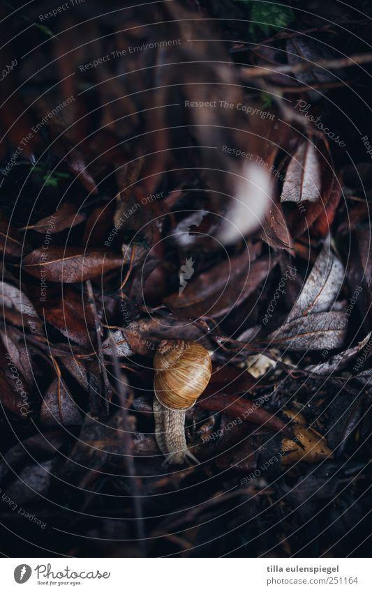 phlegmatic Leaf Animal Snail 1 Dark Natural Nature Slowly Vineyard snail Crawl Colour photo Exterior shot Animal portrait