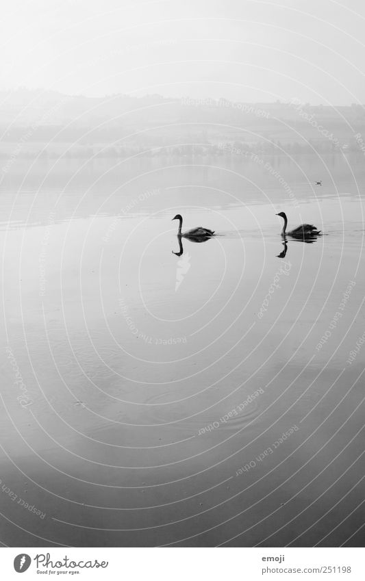 Alone in twos Nature Elements Water Sky Bad weather Fog Lake 2 Animal Pair of animals Gray Black Swan Swan Lake Reflection Gloomy Calm Sadness