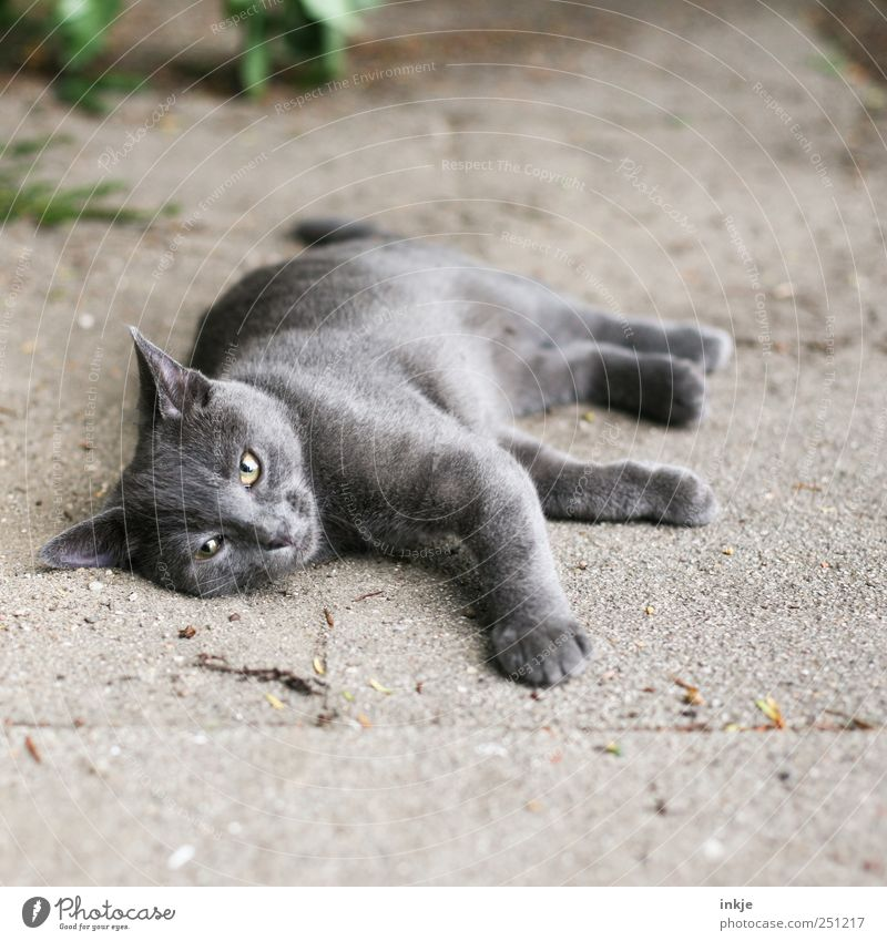 you can't even lie around for five minutes...? Pet Cat Animal face Domestic cat 1 Think Relaxation Lie Looking Gray Emotions Moody Fatigue Reluctance