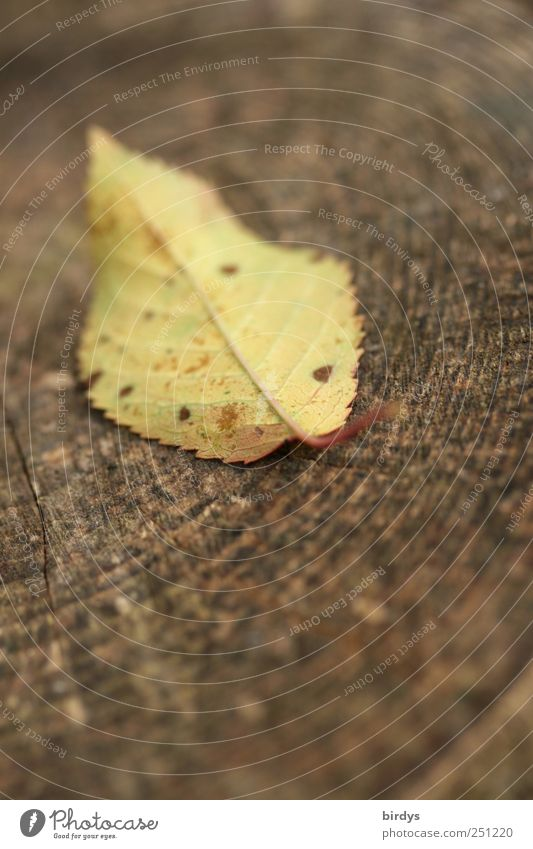leaf shot Autumn Leaf Lie Authentic Natural Brown Yellow Nature Change Annual ring Seasons 1 Wood Autumnal colours cherry leaf Autumn leaves Colour photo