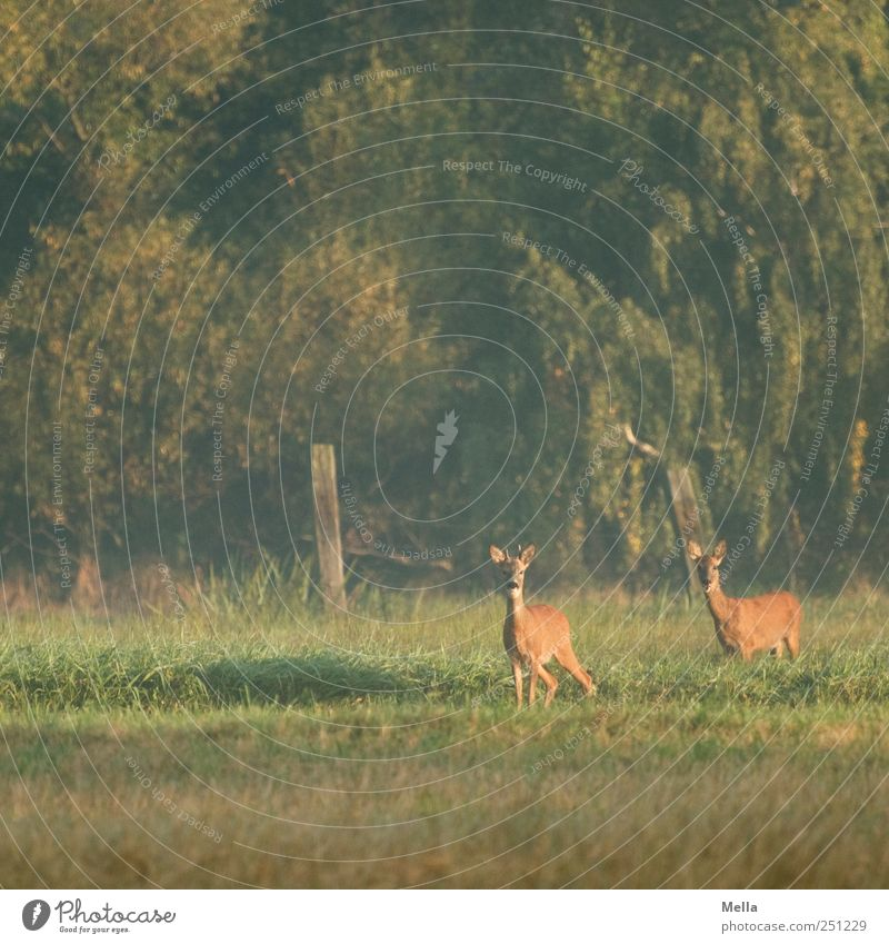800 - Rehdylle Environment Nature Animal Meadow Forest Wild animal Roe deer 2 Pair of animals Looking Stand Free Beautiful Natural Curiosity Green Freedom