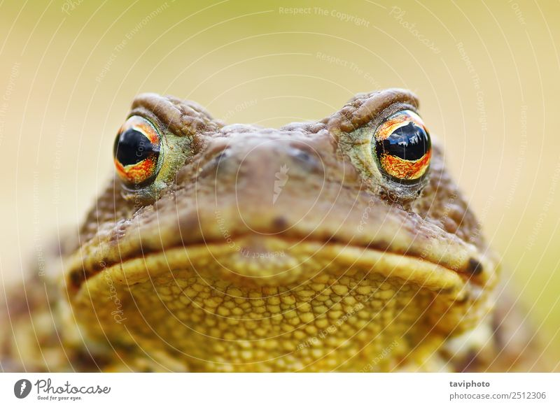 beautiful brown toad portrait Nature Beautiful Animal Face Environment Natural Small Gray Brown Wild Skin Dangerous Large Cute Living thing European
