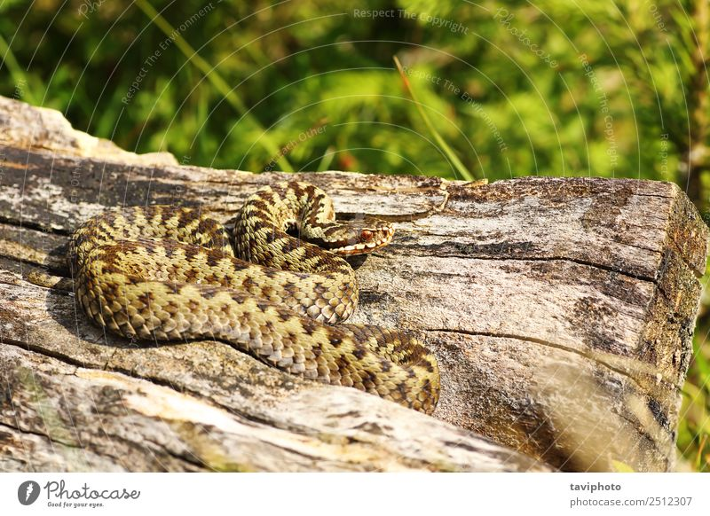 beautiful male common adder basking Nature Man Beautiful Animal Adults Natural Gray Wild Fear Wild animal Dangerous Living thing European Snake Poison Reptiles