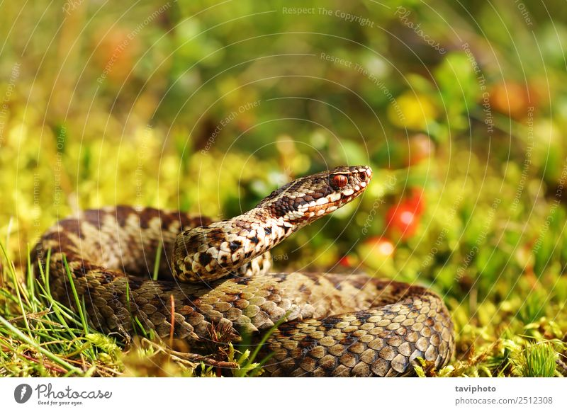 beautiful male common european adder in natural habitat Nature Man Beautiful Green Animal Adults Environment Natural Gray Wild Fear Wild animal Dangerous