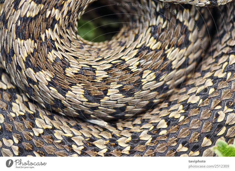 beautiful pattern of meadow viper Nature Beautiful Colour Animal Natural Meadow Small Brown Wild Fear Skin Dangerous Living thing Beauty Photography European