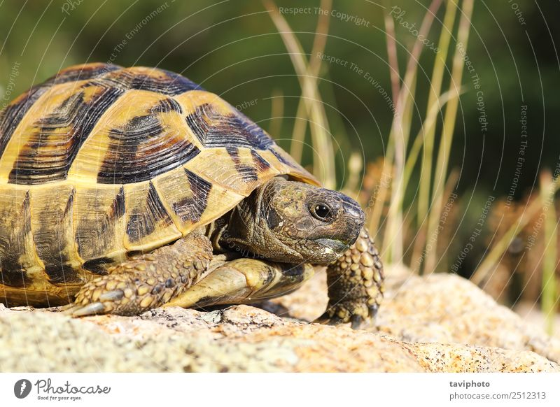 close up of greek turtoise Environment Nature Animal Pet Old Natural Wild Green Colour turtle Greek Tortoise testudo graeca spur-thighed wildlife Reptiles Shell