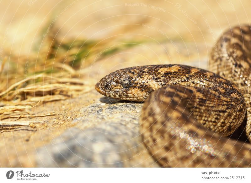 close up of javelin sand boa Nature Youth (Young adults) Beautiful Colour Animal Environment Natural Small Brown Sand Wild Europe Skin Dangerous Greece Snake