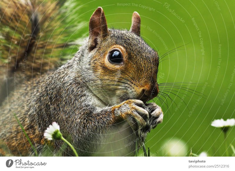 closeup of grey squirrel face Nature Summer Colour Animal Face Eating Funny Natural Small Garden Gray Brown Wild Park Sit Cute
