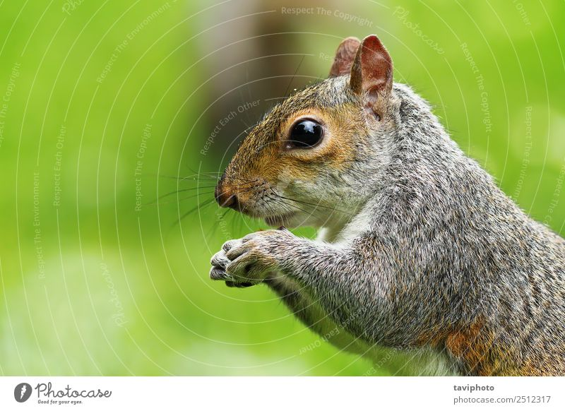 closeup of hungry grey squirrel Eating Beautiful Nature Animal Park Forest Fur coat Wild animal Feeding Friendliness Small Funny Natural Cute Brown Gray Green