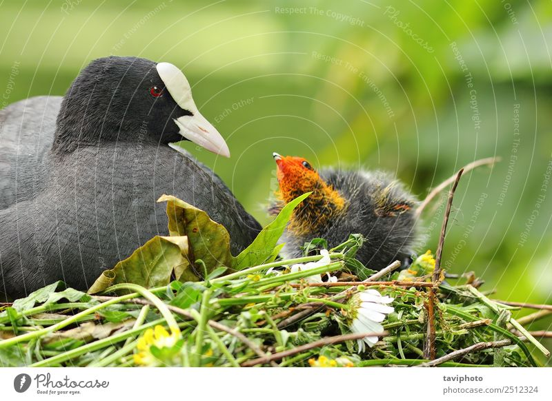 coot with chicken on nest Beautiful Family & Relations Environment Nature Animal Pond Lake River Bird Small Cute Wild Brown Gray Black Coot spring Nest Chicken