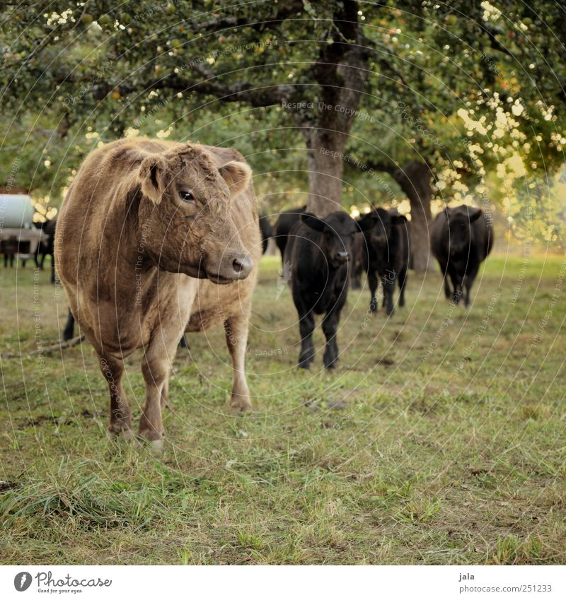 CHAMANSÜLZ | just before the coffee break Environment Nature Landscape Plant Animal Tree Grass Foliage plant Meadow Cow Group of animals Herd Natural Brown