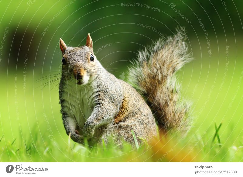 curious gray squirrel looking at camera Beautiful Garden Nature Animal Grass Park Fur coat Sit Stand Small Funny Natural Curiosity Cute Wild Brown Gray Green