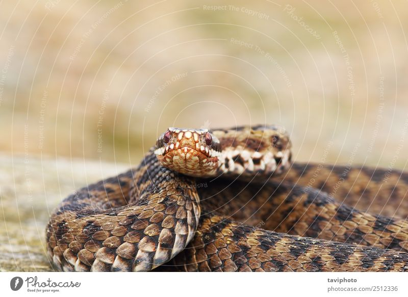 female common adder looking at the camera Woman Nature Beautiful Animal Adults Natural Brown Wild Skin Dangerous Photography Living thing European Snake Poison