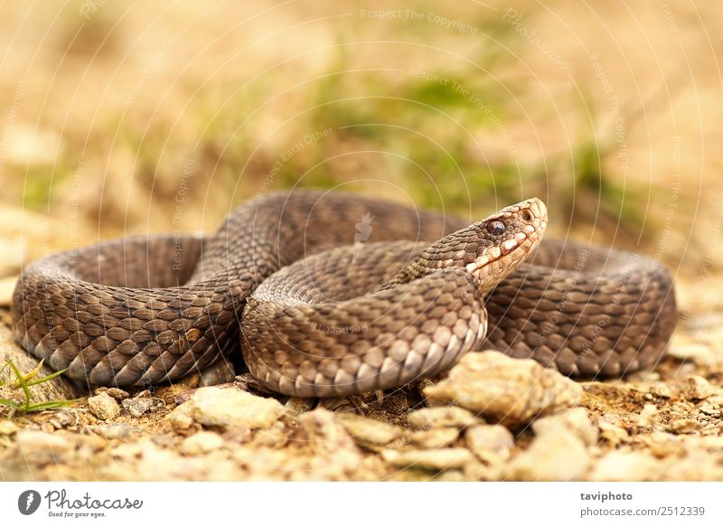 female Vipera berus on ground, full length Woman Nature Beautiful Animal Adults Environment Natural Brown Wild Fear Wild animal Dangerous European Snake Poison