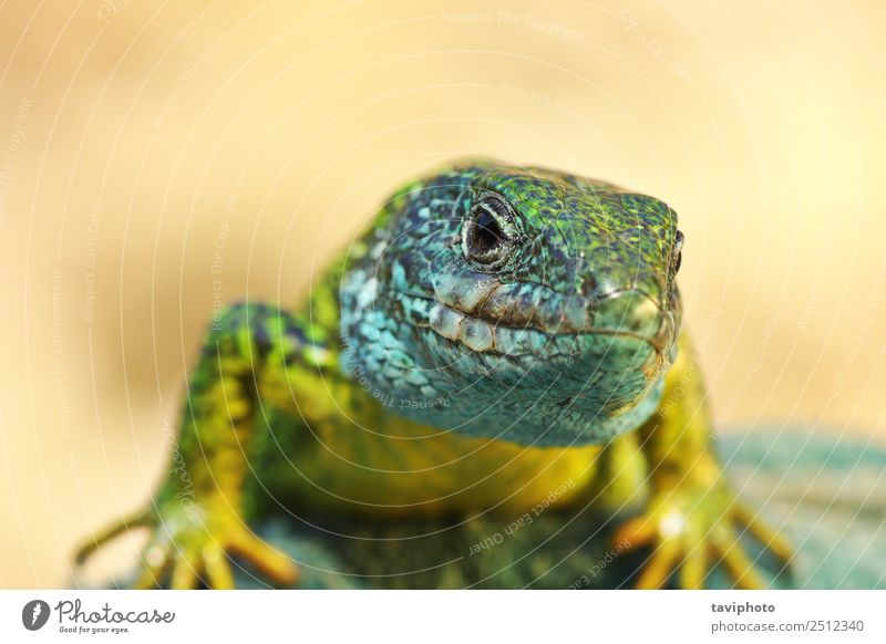 front view on Lacerta viridis male Nature Man Blue Beautiful Colour Green Animal Adults Environment Natural Small Rock Wild Skin Cute Living thing