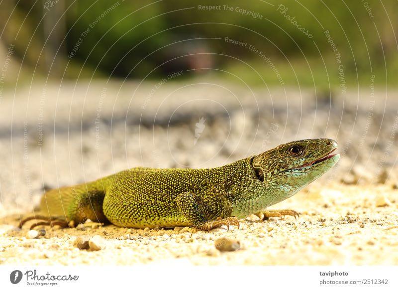 full length Lacerta viridis male Beautiful Skin Man Adults Environment Nature Animal Small Natural Cute Wild Blue Green Turquoise Colour lacerta lizard habitat