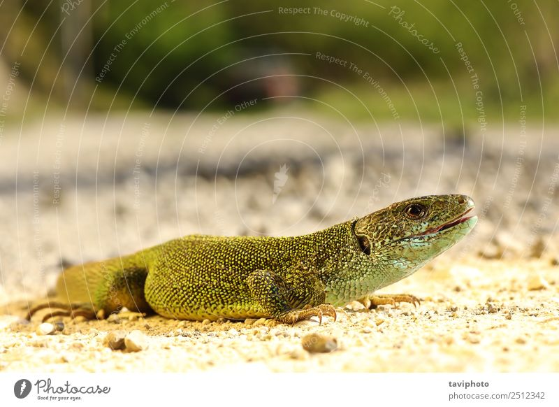full length Lacerta viridis male Nature Man Blue Beautiful Colour Green Animal Adults Environment Natural Small Wild Skin Cute Living thing Beauty Photography