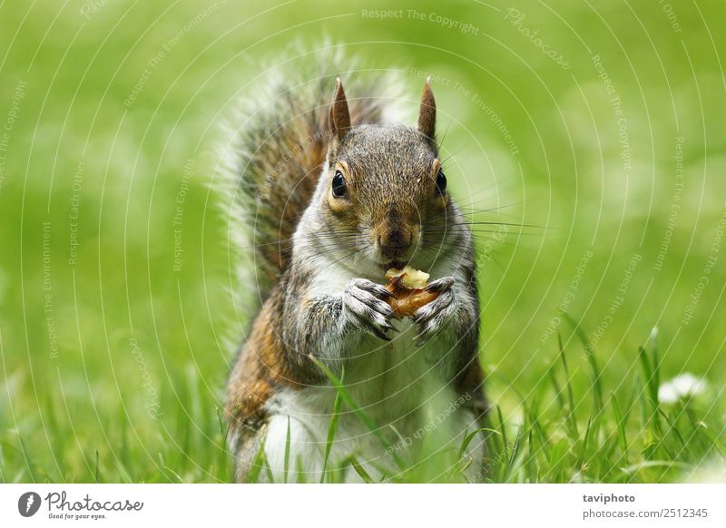 grey squirrel eating nut on lawn Eating Beautiful Garden Nature Animal Grass Park Forest Fur coat Feeding Sit Stand Small Funny Natural Cute Wild Brown Gray