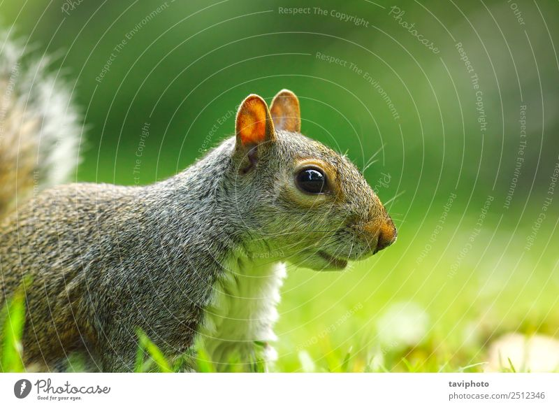 grey squirrel portrait on lawn Face Garden Baby Nature Animal Tree Park Fur coat Small Funny Natural Cute Wild Brown Gray Green White Appetite Mammal Squirrel