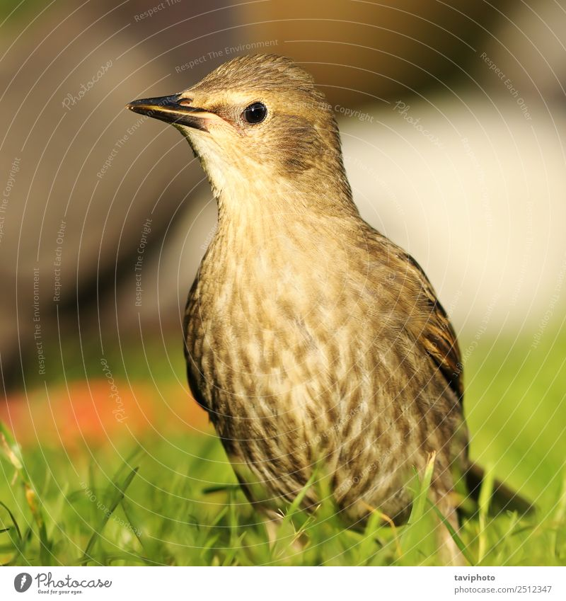juvenile starling on lawn Beautiful Life Summer Garden Youth (Young adults) Environment Nature Landscape Animal Bird Natural Cute Wild Brown Green Colour