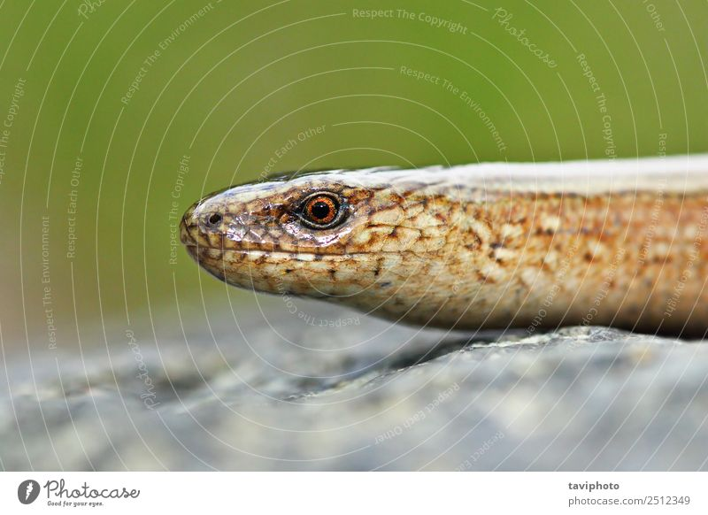 macro view of Anguis colchica's head Beautiful Garden Nature Animal Snake Worm Natural Slimy Wild Brown Green False Colour fragilis Slow worm deaf adder
