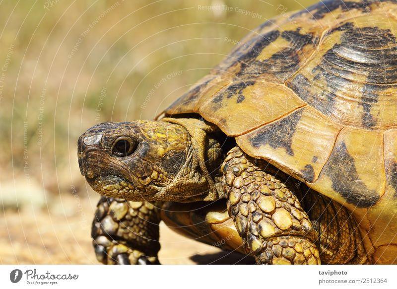portrait of greek turtoise Nature Old Colour Green Animal Natural Wild Living thing Pet European Reptiles Slowly Shell Greek Herbivore Tortoise