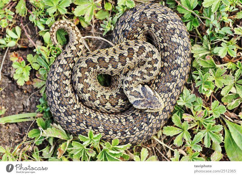 rare meadow viper in natural habitat Beautiful Woman Adults Environment Nature Animal Meadow Snake Natural Wild Brown Fear Dangerous vipera ursinii rakosiensis