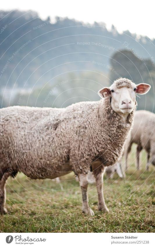 Meadow Field Fear Wait Wild animal Animal face Observe Listening Cuddly Respect Wool Farm animal Herd Flock Humanity Lamb's wool