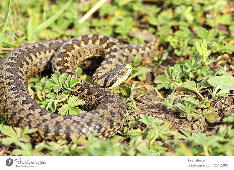 Vipera ursinii rakosiensis in situ Beautiful Nature Animal Grass Meadow Snake Wild Brown Fear Dangerous vipera adder rare Reptiles reptilian protected predator
