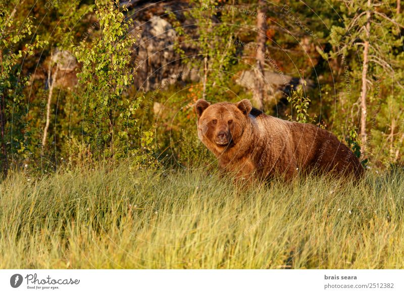 Brown Bear Biologist Hunter Environment Nature Animal Earth Grass Forest Finland Wild animal Brown bear 1 Natural Love of animals Fear Environmental protection