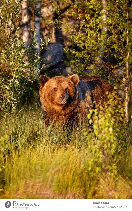 Brown Bear Adventure Biology Biologist Hunter Environment Nature Animal Earth Forest Wild animal Brown bear 1 Love of animals Fear of death