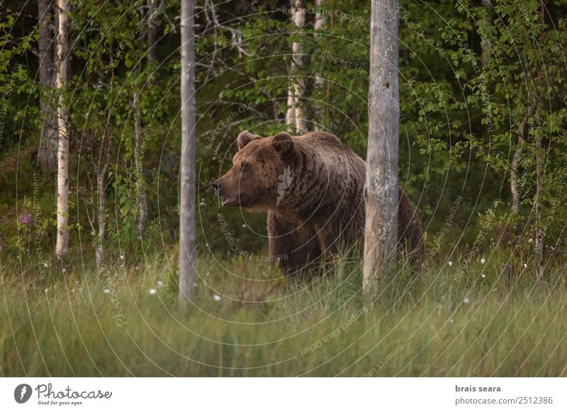 Brown Bear Nature Tree Animal Forest Environment Earth Wild Wild animal Adventure Mammal Environmental protection Nature reserve Love of animals Hunter
