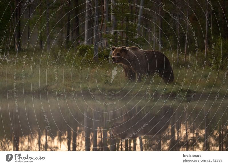 Brown Bear Adventure Safari Expedition Natural science Hunter Biologist Environment Nature Landscape Animal Water Earth Fog Forest Lake Nature reserve Finland