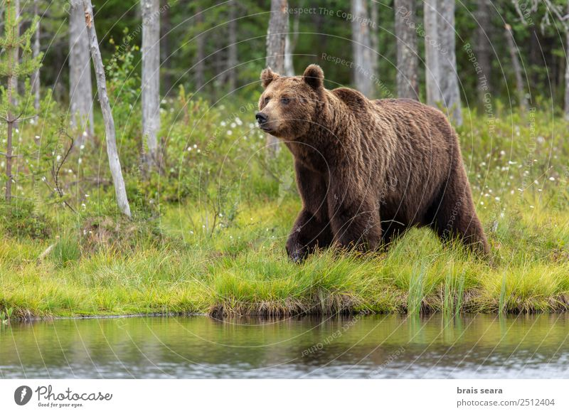 Brown Bear Adventure Science & Research Environment Nature Animal Water Earth Tree Forest Lake Finland Europe Wild animal Brown bear 1 Love of animals Interest