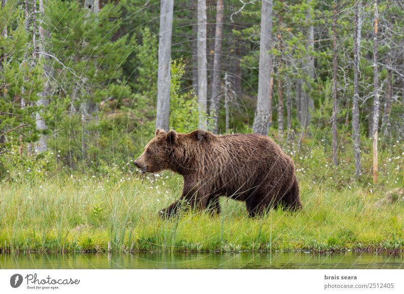 Brown Bear Adventure Safari Expedition Science & Research Environment Nature Animal Water Earth Tree Forest Lake Finland Wild animal Brown bear 1