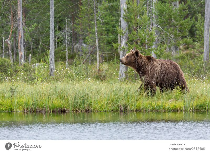 Brown Bear Adventure Science & Research Environment Nature Landscape Animal Water Earth Tree Forest Lake Finland Wild animal Brown bear 1 Gigantic