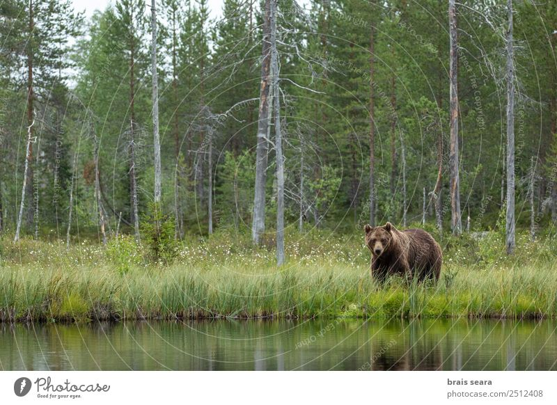 Brown Bear Adventure Science & Research Environment Nature Landscape Animal Water Earth Tree Forest Finland Wild animal Brown bear 1 Looking Love of animals