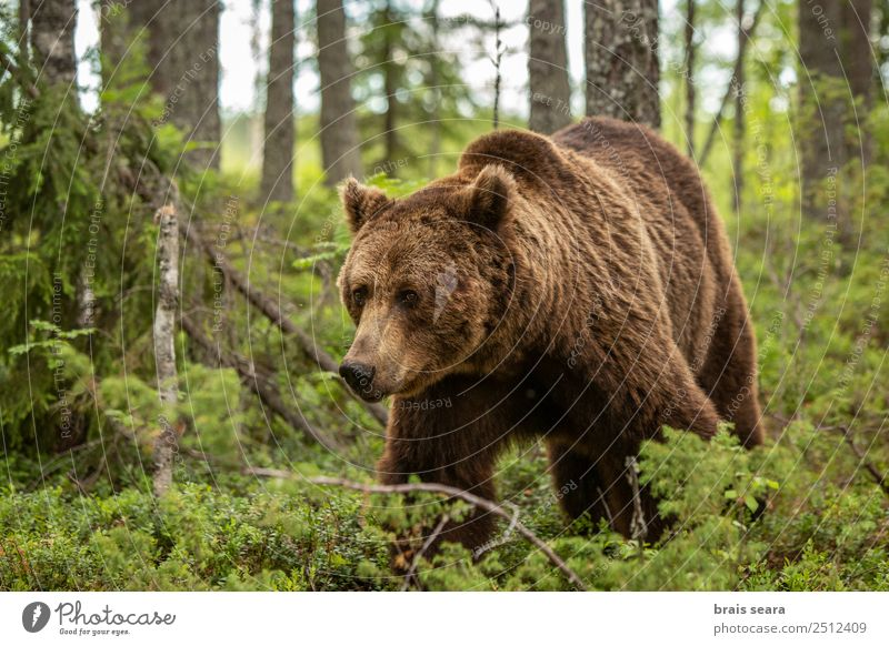 Brown Bear Adventure Safari Science & Research Environment Nature Plant Animal Earth Tree Forest Finland Wild animal Brown bear 1 Free Beautiful Natural