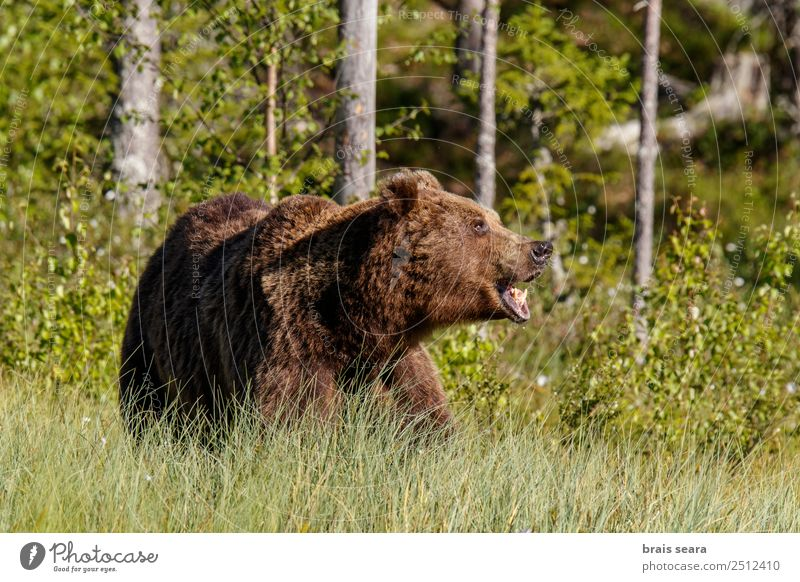 Brown Bear Adventure Safari Science & Research Biology Photographer Hunter Environment Nature Animal Earth Forest Finland Europe Wild animal Animal face