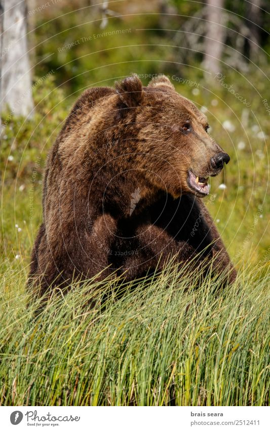 Brown Bear Adventure Safari Science & Research Environment Nature Animal Earth Forest Wild animal Brown bear 1 Feeding Aggression Natural Green Love of animals