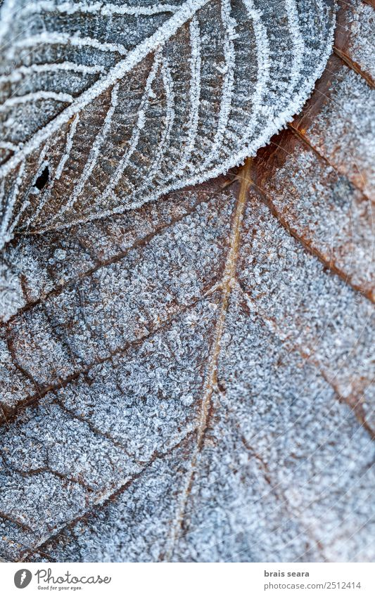 Frost leaves. Nature Plant White Tree Leaf Winter Forest Environment Cold Snow Death Earth Wild Ice Weather Europe